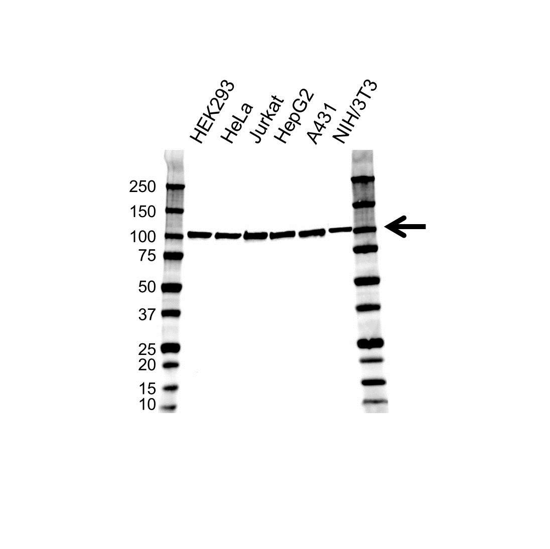 Anti SFPQ Antibody (PrecisionAb Polyclonal Antibody) gallery image 1