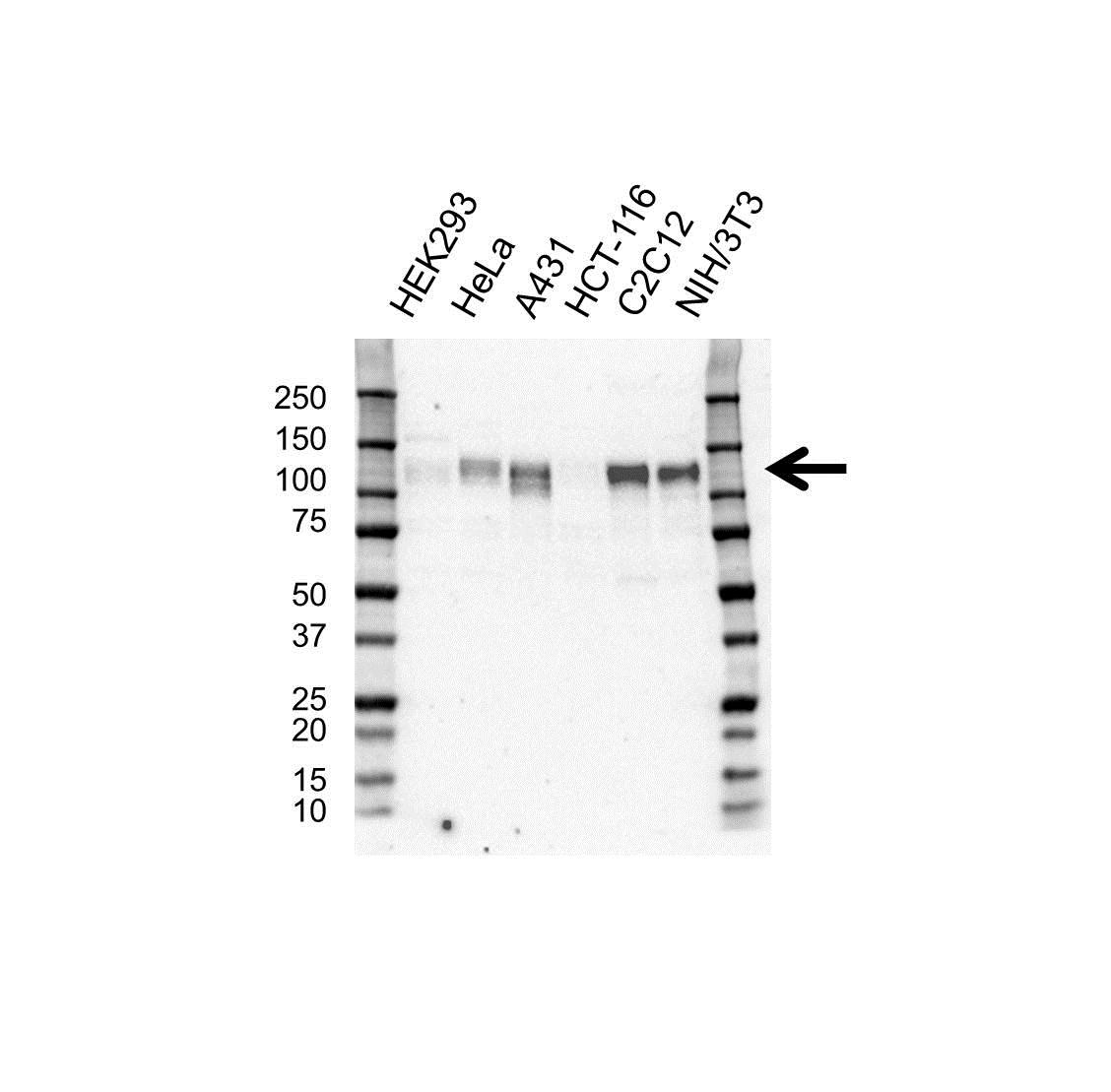 Anti SIRT1 Antibody (PrecisionAb™ Polyclonal Antibody) gallery image 1