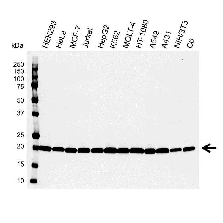 Anti Smac/DIABLO Antibody (PrecisionAb Polyclonal Antibody) gallery image 1