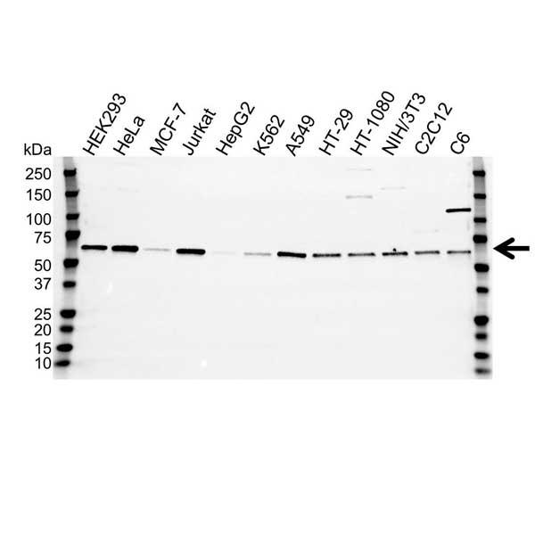 Anti SMAD2 Antibody (PrecisionAb Polyclonal Antibody) gallery image 1