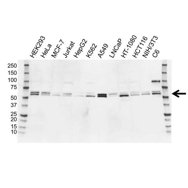 Anti SMAD3 Antibody (PrecisionAb Polyclonal Antibody) gallery image 1