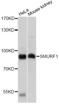 Anti SMURF1 Antibody gallery image 1