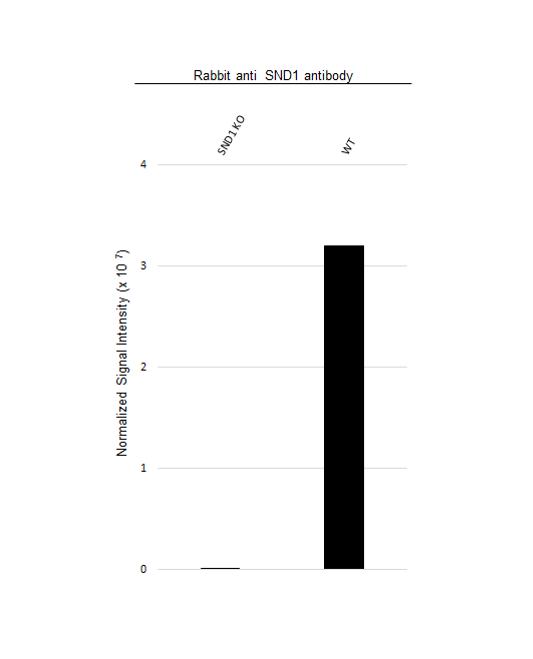 Anti SND1 Antibody (PrecisionAb Polyclonal Antibody) thumbnail image 3
