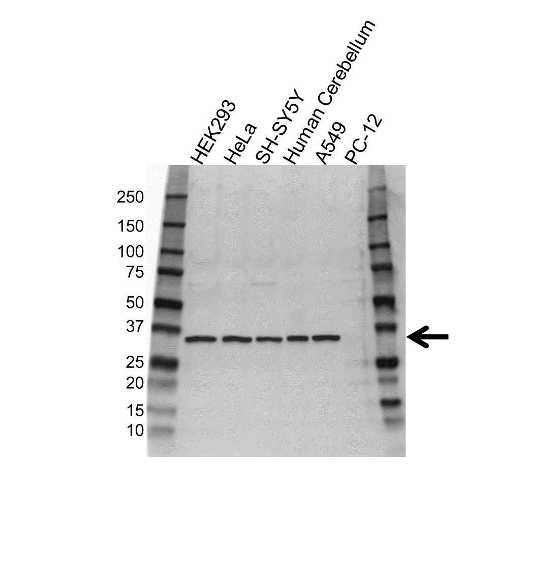 Anti SPARC Antibody (PrecisionAb™ Polyclonal Antibody) gallery image 1