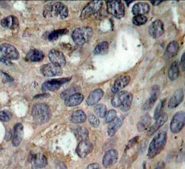 Anti SRC (pTyr530) Antibody thumbnail image 2