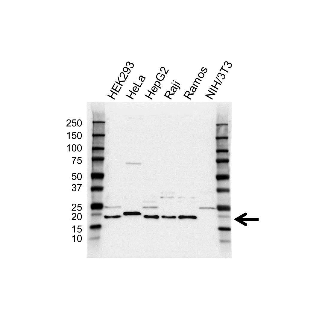 Anti SRP14 Antibody (PrecisionAb™ Polyclonal Antibody) gallery image 1