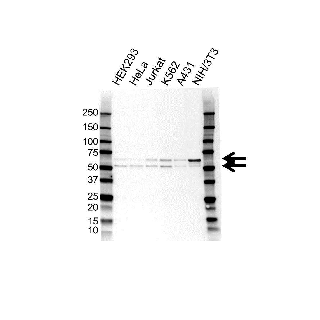 Anti SS18 Antibody (PrecisionAb Polyclonal Antibody) gallery image 1