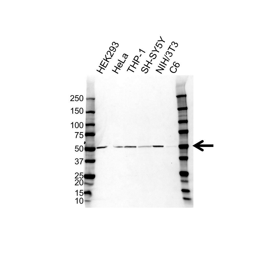 Anti ST13 Antibody (PrecisionAb Polyclonal Antibody) gallery image 1