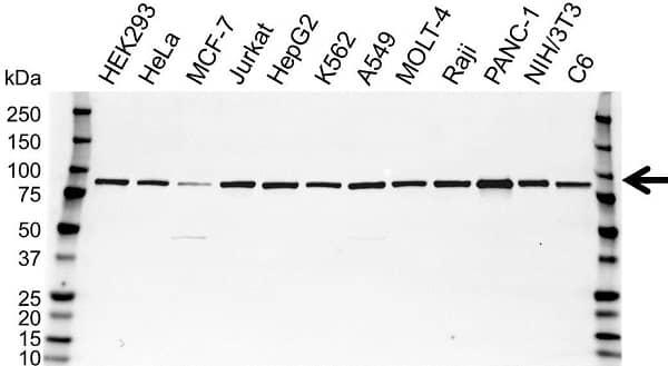 Anti STIM1 Antibody (PrecisionAb Polyclonal Antibody) gallery image 1