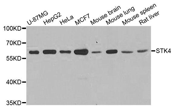 Anti STK4 Antibody thumbnail image 1