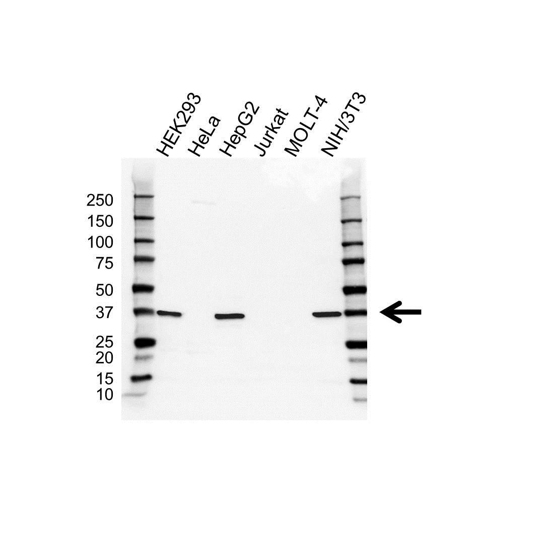 Anti SURF1 Antibody (PrecisionAb Polyclonal Antibody) gallery image 1