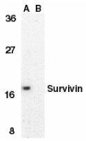 Anti Human Survivin (aa129-142) Antibody thumbnail image 1
