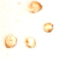 Anti Human Survivin (aa129-142) Antibody thumbnail image 2