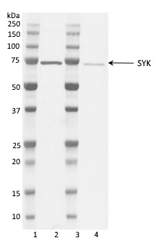 Anti SYK Antibody thumbnail image 6