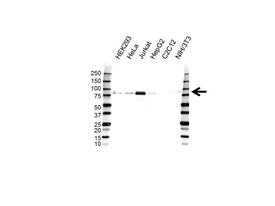 Anti TAF15 Antibody (PrecisionAb Polyclonal Antibody) gallery image 1