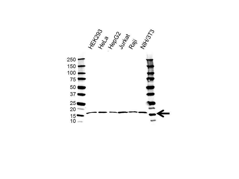 Anti TCEB2 Antibody (PrecisionAb Polyclonal Antibody) gallery image 1