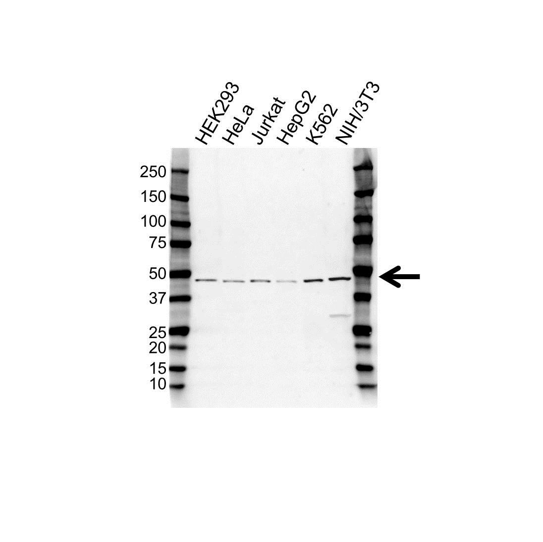 Anti TDP-43 Antibody (PrecisionAb Polyclonal Antibody) gallery image 1