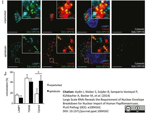 Anti Human TGN46 Antibody thumbnail image 2