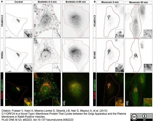 Anti Human TGN46 Antibody thumbnail image 34
