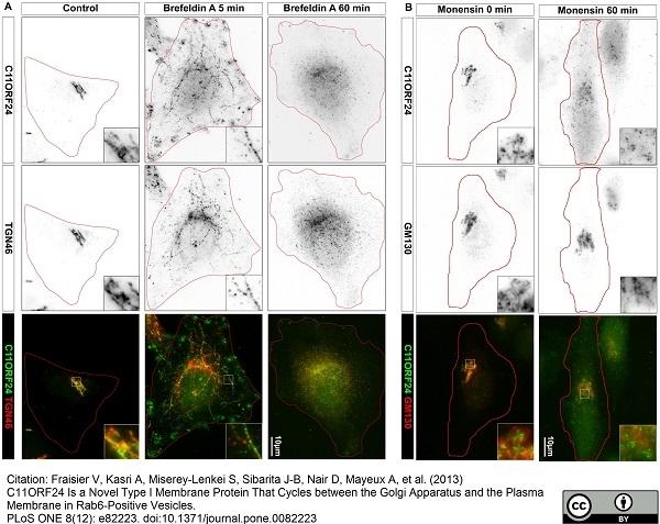 Anti Human TGN46 Antibody thumbnail image 9