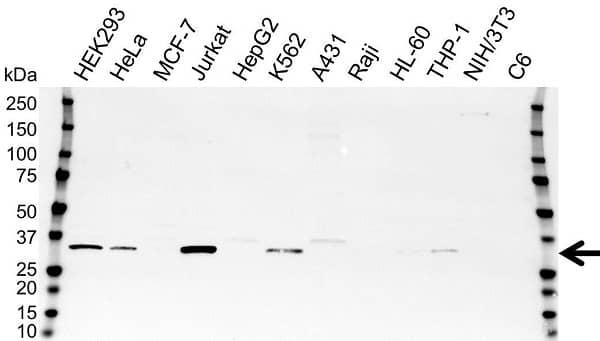 Anti Thymidylate Synthase Antibody (PrecisionAb Polyclonal Antibody) gallery image 1