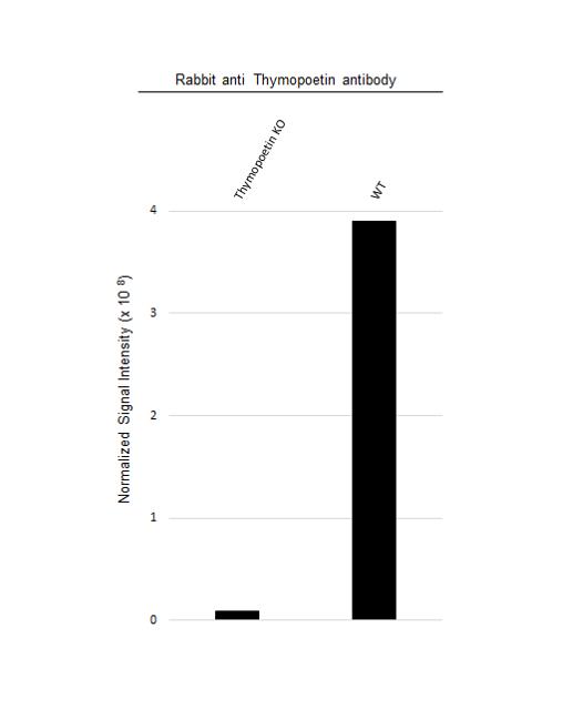 Anti Thymopoetin Antibody (PrecisionAb Polyclonal Antibody) thumbnail image 3