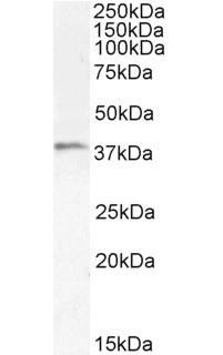 Anti Human TIM-3 Antibody thumbnail image 1