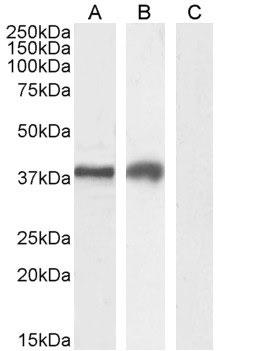 Anti Human TIM-3 Antibody thumbnail image 2