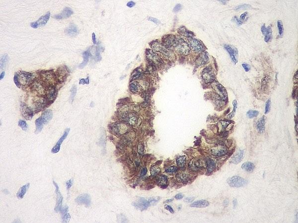 Anti Human TIMP-1 Antibody thumbnail image 2