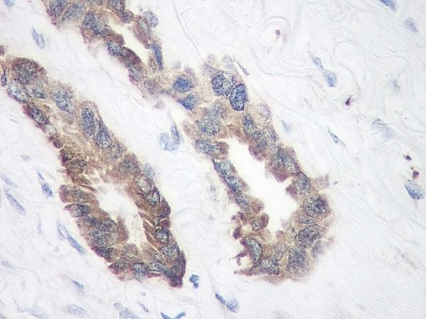 Anti Human TIMP-1 Antibody thumbnail image 3