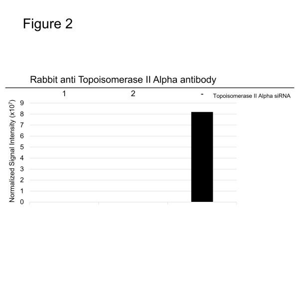 Anti Topoisomerase II Alpha Antibody (PrecisionAb Polyclonal Antibody) thumbnail image 2