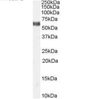 Anti Human TR3 Orphan Receptor Antibody gallery image 1