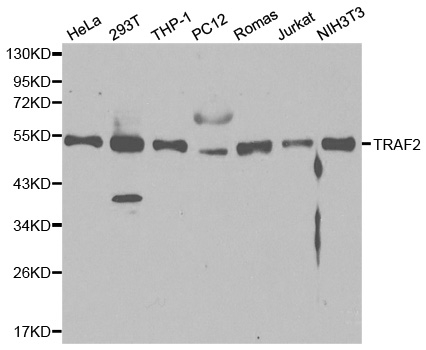 Anti TRAF2 Antibody thumbnail image 1