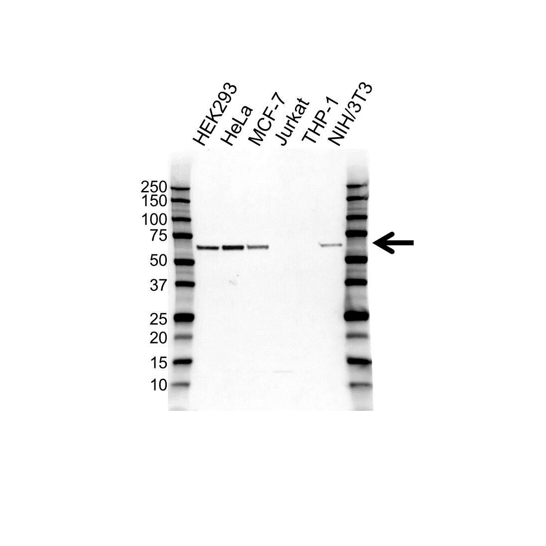 Anti TRAF5 Antibody (PrecisionAb™ Polyclonal Antibody) gallery image 1