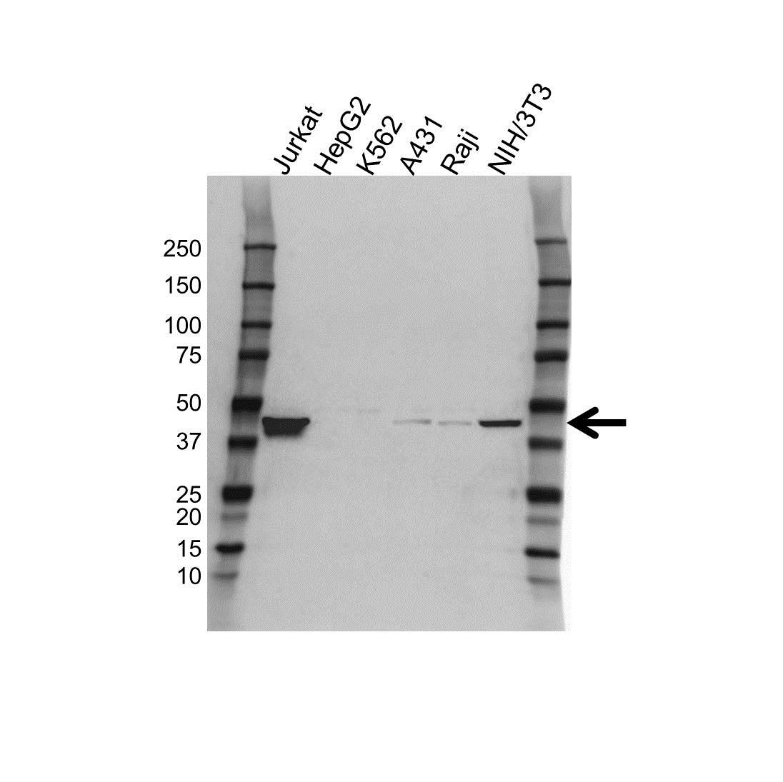 Anti Transcription Factor E2F2 Antibody (PrecisionAb™ Polyclonal Antibody) gallery image 1
