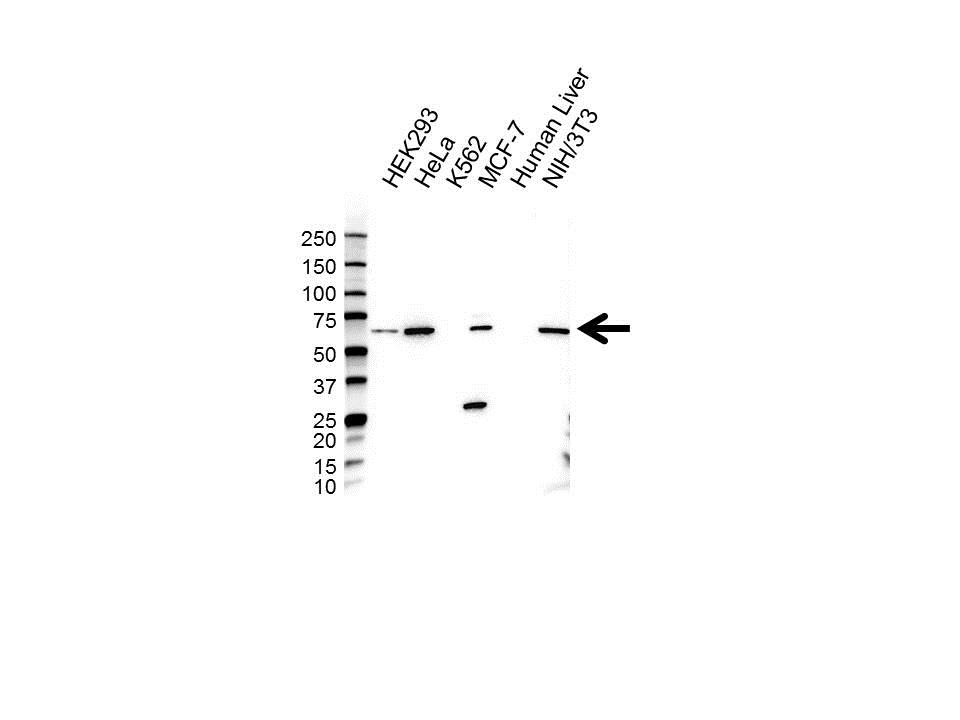 Anti TRIM25 Antibody (PrecisionAb Polyclonal Antibody) gallery image 1