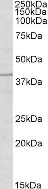 Anti Human TRIM5 Alpha (N-Terminal) Antibody gallery image 1