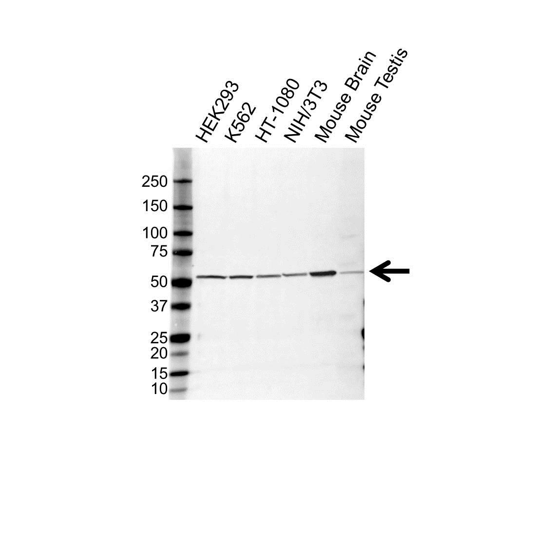 Anti Tubulin Alpha 1C Chain Antibody (PrecisionAb Polyclonal Antibody) gallery image 1