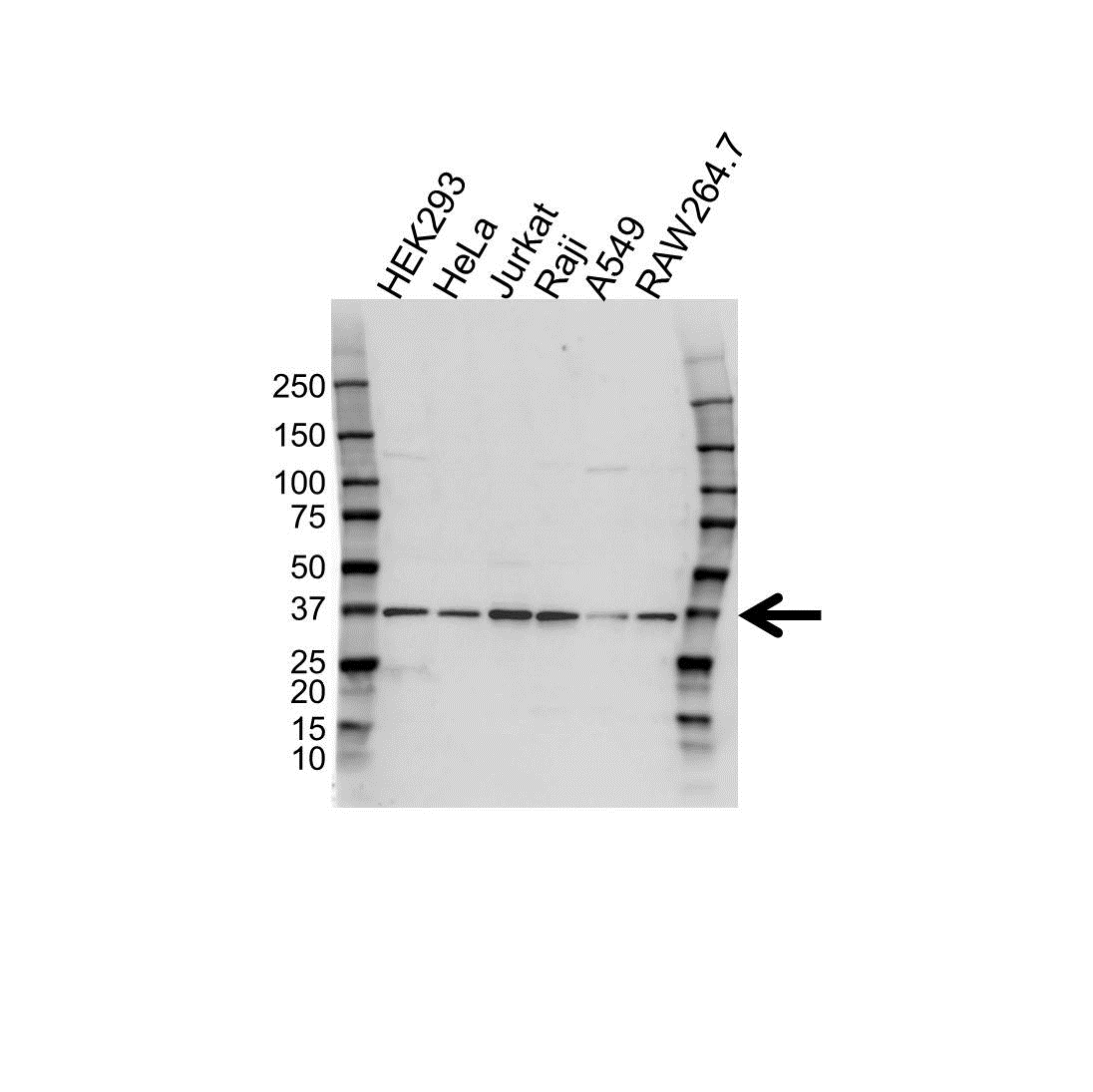 Anti U2AF1 Antibody (PrecisionAb Polyclonal Antibody) gallery image 1