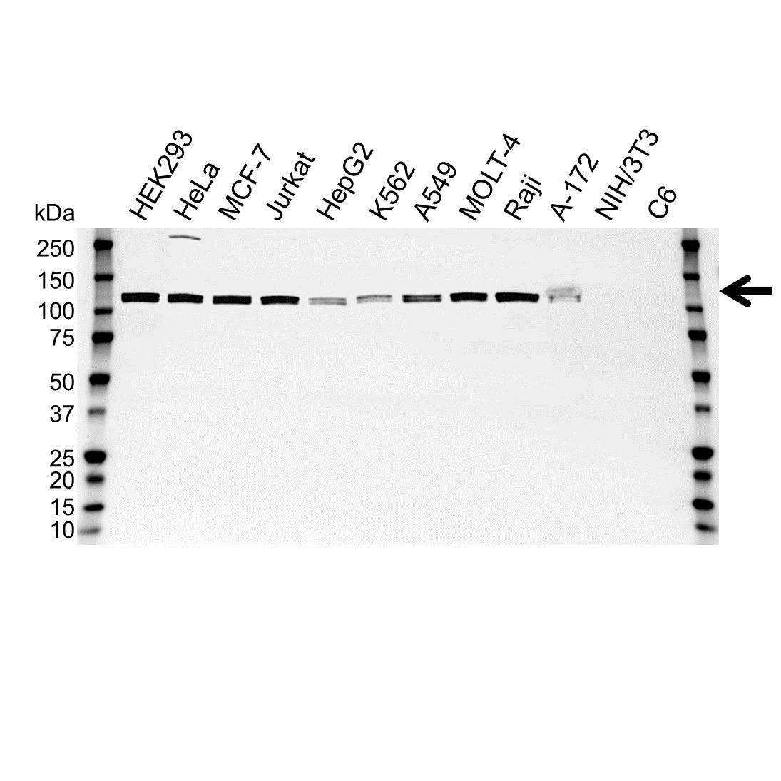 Anti UBA1 Antibody (PrecisionAb™ Polyclonal Antibody) gallery image 1