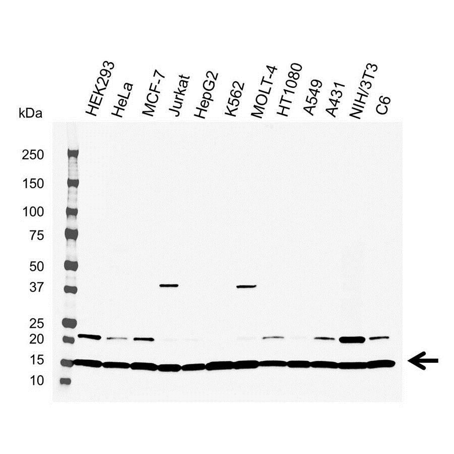 Anti UBC13 Antibody (PrecisionAb Polyclonal Antibody) gallery image 1