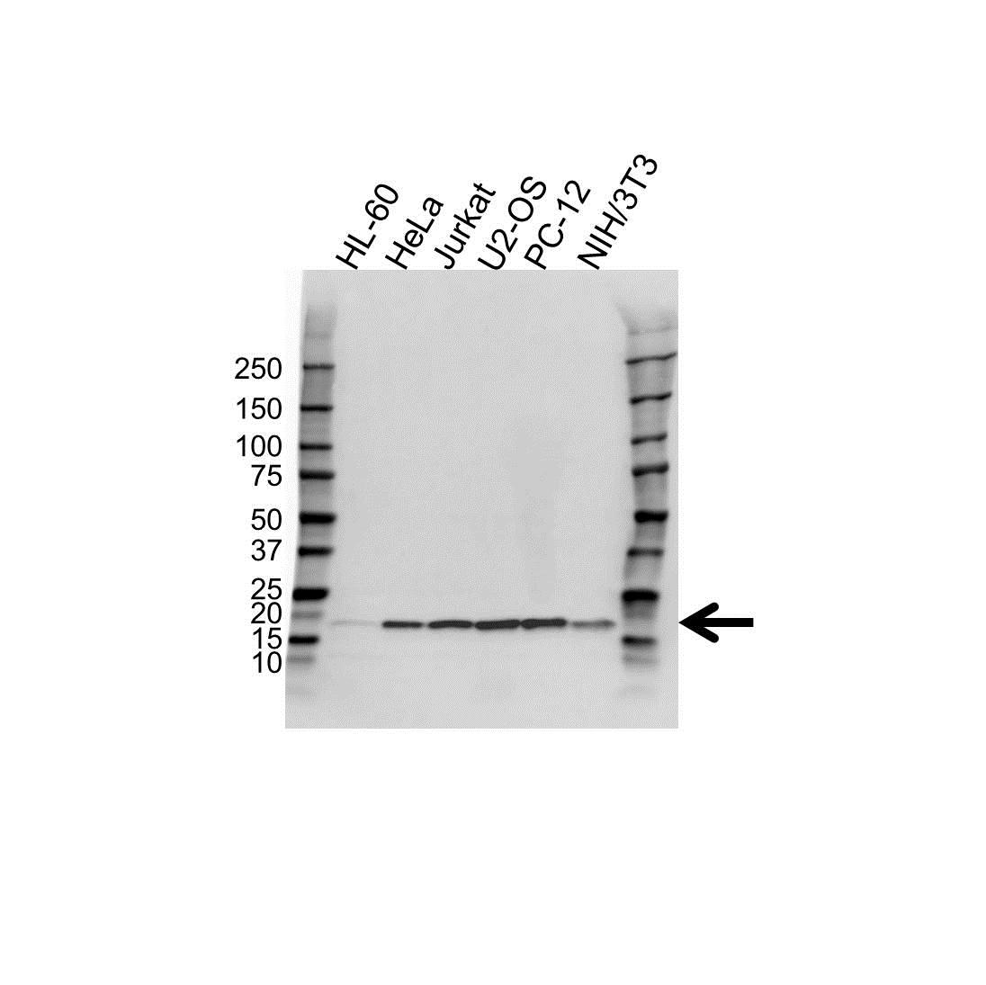 Anti UBE2V2 Antibody (PrecisionAb™ Polyclonal Antibody) gallery image 1