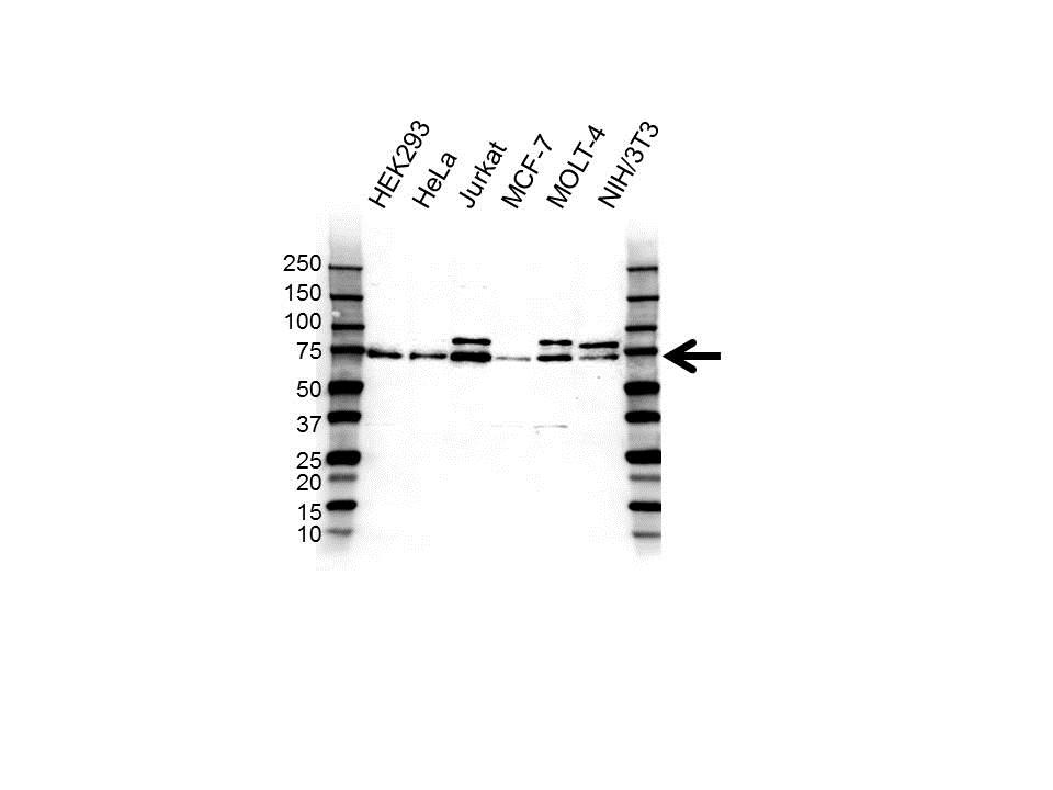 Anti UBIQUILIN-1 Antibody (PrecisionAb Polyclonal Antibody) gallery image 1