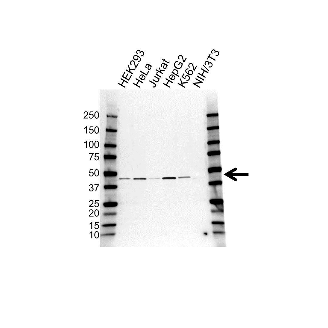 Anti UQCRC2 Antibody (PrecisionAb™ Polyclonal Antibody) gallery image 1