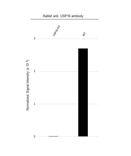 Anti USP16 Antibody (PrecisionAb Polyclonal Antibody) thumbnail image 3