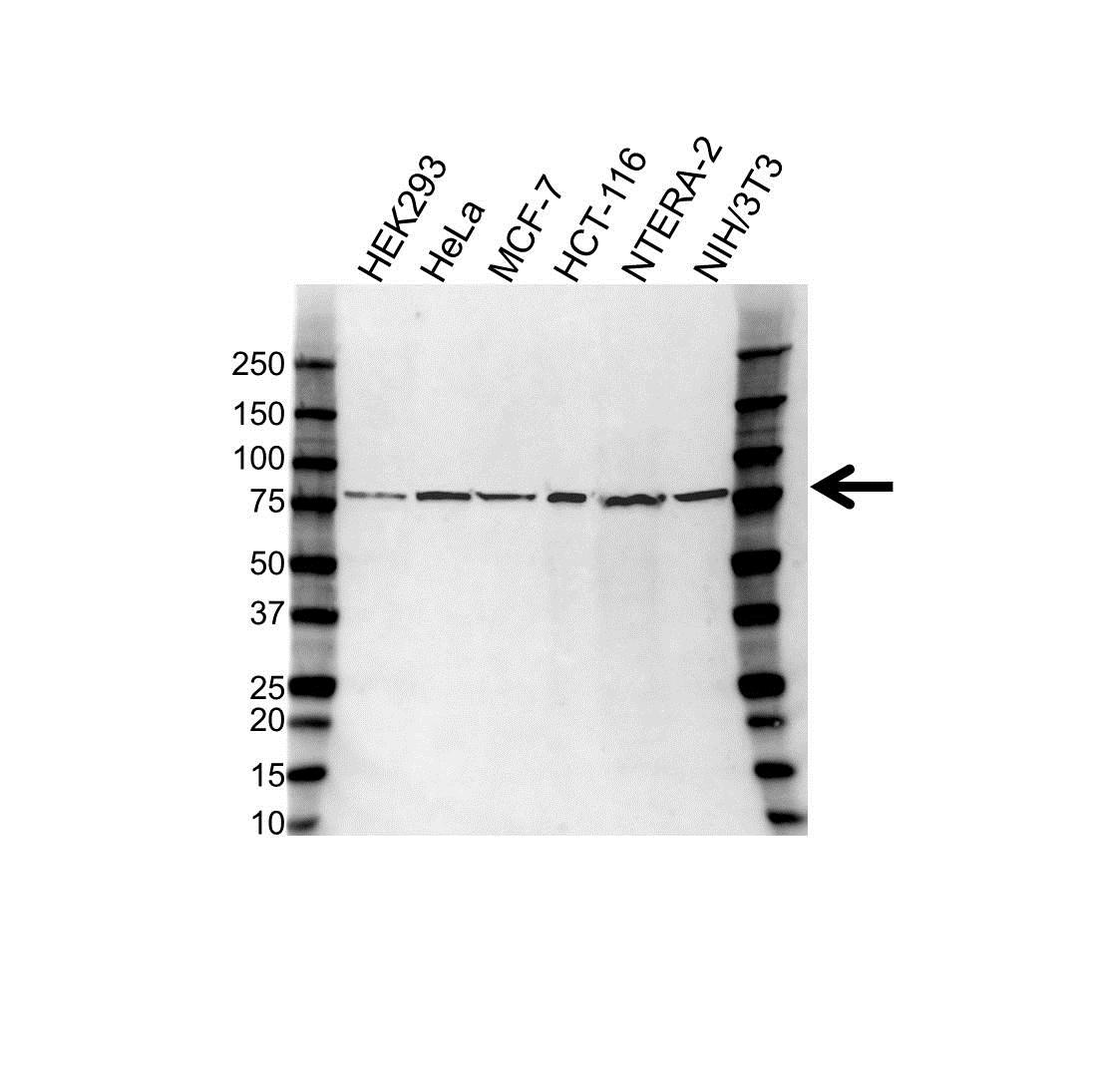 Anti USP2 Antibody (PrecisionAb™ Polyclonal Antibody) gallery image 1