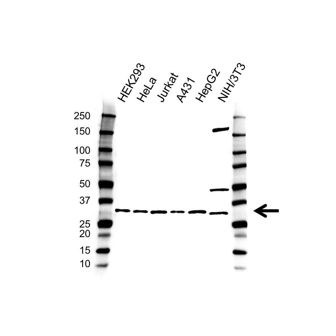 Anti Vapa Antibody (PrecisionAb™ Polyclonal Antibody) gallery image 1