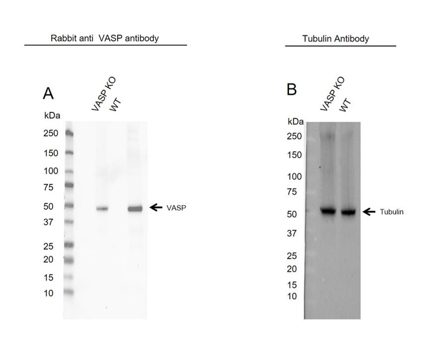 Anti VASP Antibody (PrecisionAb Polyclonal Antibody) thumbnail image 2