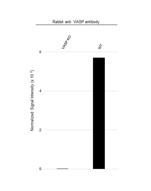 Anti VASP Antibody (PrecisionAb Polyclonal Antibody) thumbnail image 3