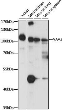 Anti VAV3 Antibody gallery image 1